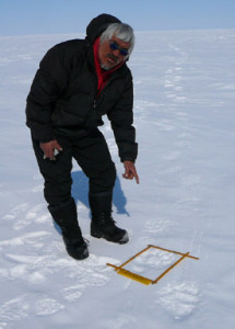 An expert local tracker finds a trail of Polar bear prints and begins to image them.