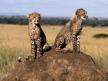 cheetah cubs on anthill