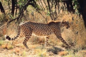 cheetah lateral view