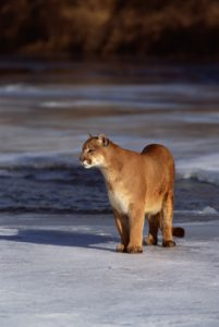 mountain lion in snow portrait