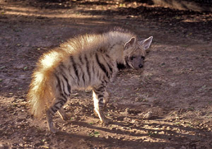 The striped hyaena (Hyaena hyaena).