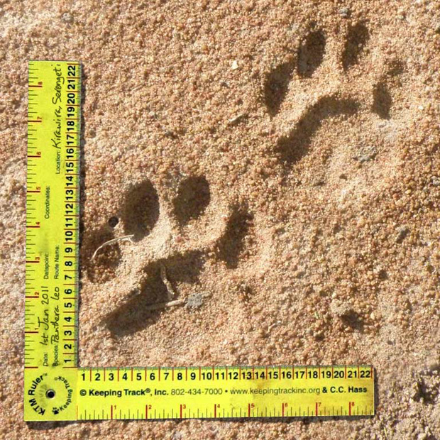 2. Male lion track NM - George Farmer