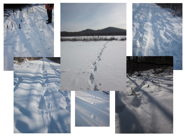 Amur tiger trails