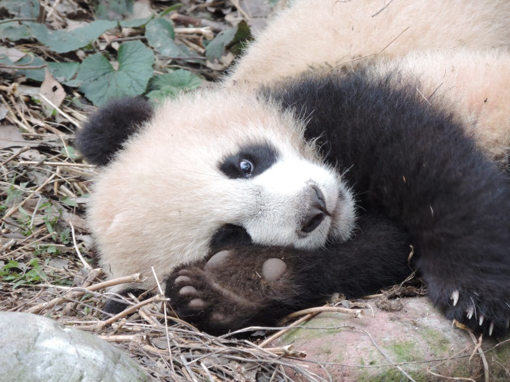 panda cub showing foot