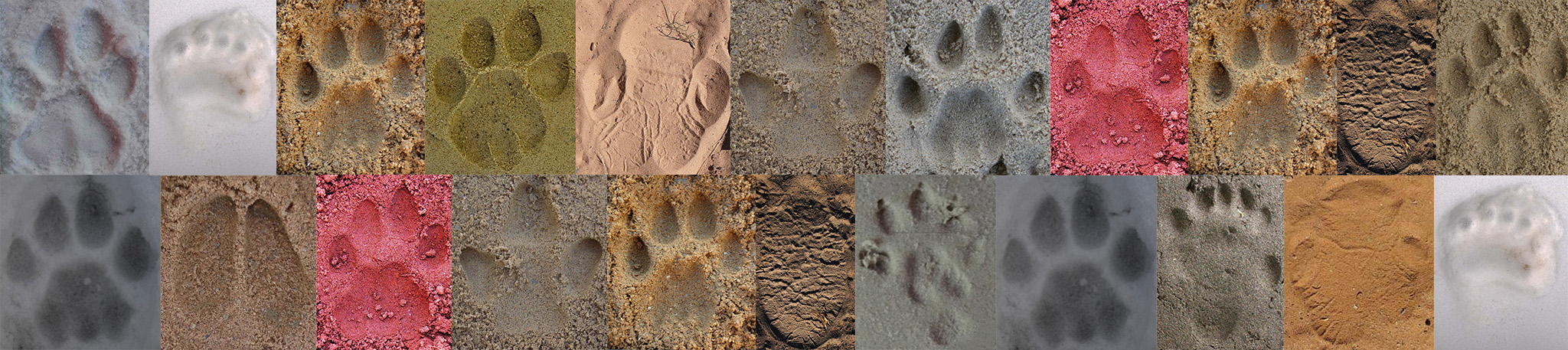 Translating footprints into wildlife monitoring data